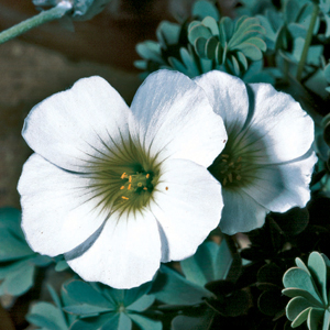 Oxalis enneaphylla &#8216;Alba&#8217;